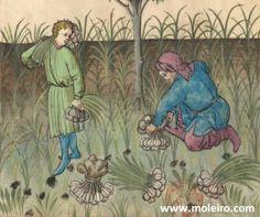Ajos: Contra el veneno frío y la picadura de #escorpiones y #víboras... #Tacuinum Sanitatis S. XV http://www.moleiro.com/es/medicina/tacuinum-sanitatis/miniatura/4fe2dd4ac906c