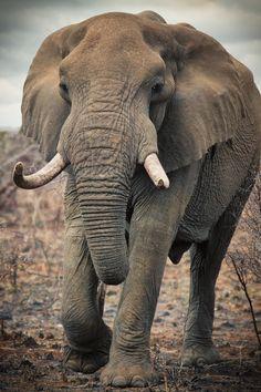 Kruger Elephant by Mario Moreno