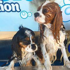 Beach cleanup 😂 Bath day 😂 #sandydog #ernie #instagram #petstagram #dog #dogsofinstagram #dogslife #instadaily #cav #cavaliers #kingcharlescavalier #beach #surf #sunnydays #weeklyfluff #animals #instagood #cavlife #lol #coffscoast #nsw #spring #dogs #dogstagram #proud #cavfun #bathtime #dogs #clean