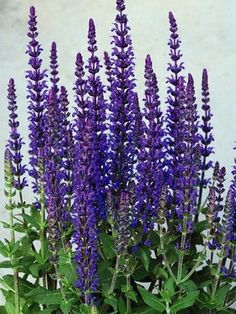 Salvia superba 'Merleau Blue' - Perennial. Violet-blue spikes of flowers all summer. Heat tolerant. Prefers moist but well-drained soil. After blooming, cut down to basal growth. Full sun to mostly sun. Zones 4-8. Height 12-16 in.
