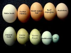 A Rainbow of Egg Colors. Here is a guide that might help if you are looking to add some color to your nesting boxes
