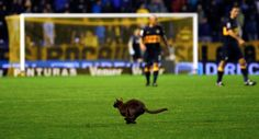 A cat runs on the field during the Argentine First Division soccer match between Boca Juniors and Estudiantes de La Plata in Buenos Aires. (Reuters)