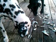 Can Dog eat Fish or Not ?