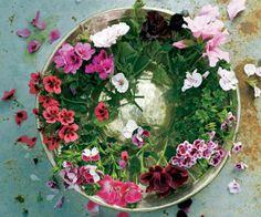 Jalopelargonit, Pelargonium x domesticum. Jalopelargoneja kutsutaan myös englantilaisiksi pelargoneiksi. Ylhäältä myötäpäivään: ´Springfield Black´, ´Lovely Rita´, ´Kiss & Tell´, ´Tip Top´, Lord Bute', 'Rogers Delight´, ´Captain Starlight´ ja ´Voodoo´. | Tunne pelargonit | Koti ja keittiö Koti, Terrarium, Floral Wreath, Wreaths, Flowers, Home Decor, Terrariums, Floral Crown, Decoration Home