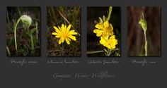 wildflowers of the grampians Podolepis longipedata Wildflowers, Plants, Plant, Wild Flowers, Planets