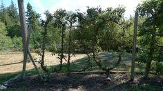 P1130777 | by UBCgarden Espalier Fruit Trees, Explore, Plants, Plant, Planets, Exploring