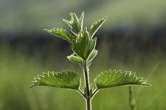 Cyklus, který vás naučí, jak nakládat s bylinkami a jak je správně použít. Plant Leaves, Gardening, Plants, Pesto, Syrup, Lawn And Garden, Plant, Planets, Horticulture