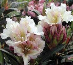 Rhododendron ('Victoria' Rhododendron)