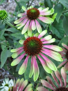 'Green Envy' purple coneflower (Echinacea purpurea) - perennial