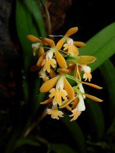 "Epidendrum polyanthum - ""Orchidee in centrO"" 2009 - Monte Porzio Catone (Roma)  - Flickr - Photo Sharing!"