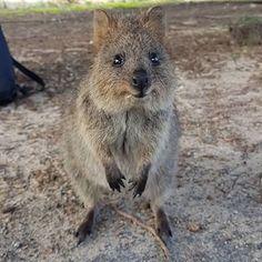 Wild Animals, Cute Animals, Quokka, Kangaroo, Madness, Belle, Nature, Pretty Animals, Baby Bjorn