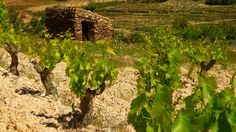 Vineyards in #priorat wine region. #catalonia #spain