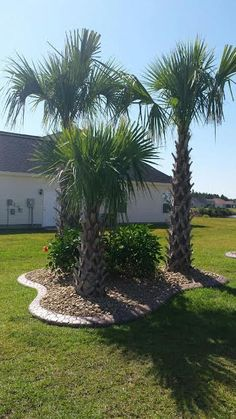 Texas Palmetto Super Cold Hardy Landscaping Ideas