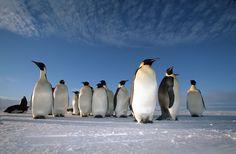 Where to see Emperor Penguins © Natural World Safaris