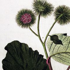 """Burdock is one of our favorite springtime herbs! 🌱 #Burdock was traditionally used by western #herbalists to """"purify blood"""" and as a remedy for gout and kidney stones. An interesting note from Mark Pedersen in Nutritional Herbology says that the cleansing action may be more likely """"due to its mucilage preventing the absorption of toxins from the digestive tract. By absorbing toxins from ingested food and those produced by intestinal flora, viscous fiber eliminates the source of many of the…"""