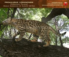 Proailurus lemanensis | Cat 1.0 | The first cat on Earth | The grandmama of all cats