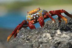 Ecuador crab