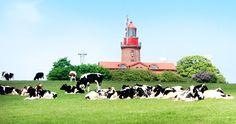 Kühe vor Bastofer Leuchtturm