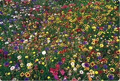 Wildflower Mix100 Seed 1 Pound Lb Seeds *** Check out this great product.