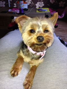 Bella my Yorkshire terrier's new hair cut