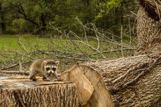 <p>With every trees that's chopped down, we destroy the homes of a precious animal.</p>