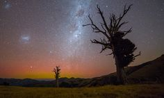 Ancient Totara trees stand guard against the ravages of time and space , Port Levy Saddle, New Zealand