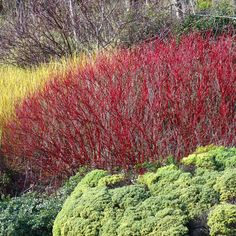 Redefine your landscape with the vibrant color of our Red Twig Dogwood Shrubs. Dogwood Shrub, Red Twig Dogwood, Garden Shrubs, Garden Soil, Gardening, Garden Art, Garden Design, Drought Tolerant Shrubs, Shrubs For Sale