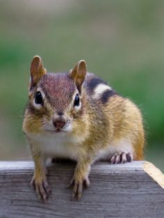 What you doing dude. by Chris Toombes, via Nature Animals, Animals And Pets, Baby Animals, Cute Animals, Cute Squirrel, Squirrels, Eastern Chipmunk, Wild Animals Photos, Little Critter