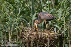 Purple Heron (Ardea purpurea) by © Jiri Bohdal