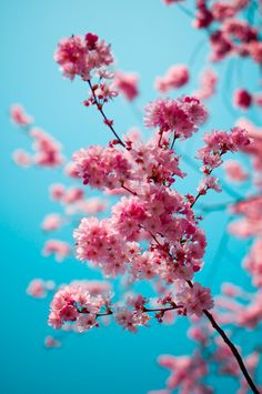 pink blossoms and blue sky. It looks like a bubble gum colour combo! Cherry Blossom Dc, Pink Blossom, Flower Aesthetic, Blue Aesthetic, List Of Flowers, Pink And Blue Flowers, Pink Blue, Flower Phone Wallpaper, Stencil Decor