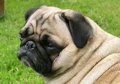 Pin By Pat Kimble On Pugs Pug Puppies Pug Dog Dogs