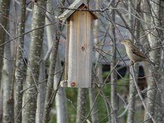 House Sparrow (female) / Gråspurv, hunn / Passer domesticus