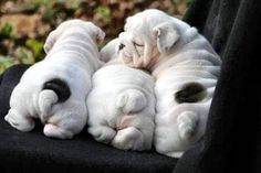 The major breeds of bulldogs are English bulldog, American bulldog, and French bulldog. The bulldog has a broad shoulder which matches with the head. Cute Baby Animals, Animals And Pets, Funny Animals, I Love Dogs, Cute Dogs, Adorable Puppies, Cute Bulldogs, Baby Bulldogs, English Bulldog Puppies