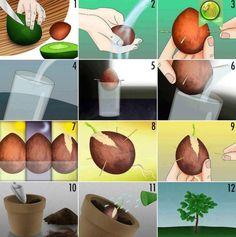 """Nachdem ihr die Avocado vom Kern getrennt habt, nehmt ihr den Kern und wascht ihn ab. Anschließend befestigt ihr 4 Zahnstocher um den Avocadokern auf ein Glas zu """"legen"""". Wechsetlt das Wasser immer wieder bis der Avocadokern Wurzeln schlägt und aufreist...."""