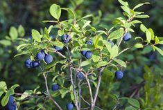 Heat Tolerant Berry Plants: Selecting Berries For Zone 9 Gardens Indoor Vegetable Gardening, Container Gardening, Organic Gardening, Gardening Tips, Vintage Gardening, Veggie Gardens, Garden Seeds, Garden Plants, Fruit Garden