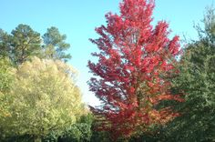 This maple tree turns bright red during fall.