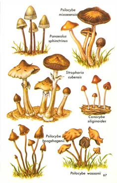 What is magic mushrooms and what is psilocybin? Worldwide, more than 180 species of mushrooms produce psilocybin, likely as a defense strategy. Mushroom Drawing, Mushroom Art, Mushroom Fungi, Edible Wild Mushrooms, Growing Mushrooms, Stuffed Mushrooms, Mushroom Identification, Psilocybin Mushroom, Mushroom Pictures