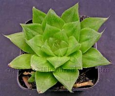 Haworthia variety, plant in deeper pot to accommodate fleshy roots; off-set freely