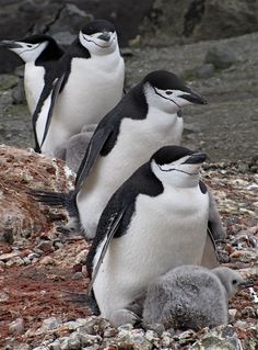 Chinstrap Penguins with chicks by Jan2009AntarticaSailTrip