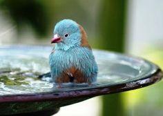Free Photo Wallpapers  Animals World  Birds  Blue Bird Bath Wallpaper  scenicreflections.com