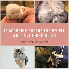 15 Adorable Photos For People Who Love Chinchillas