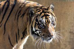 #Tiger #Wild #Wildlife #Animal #Zoo