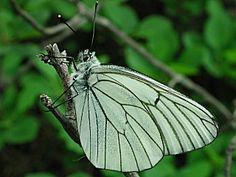 Baumweißling Aporia crataegi Black-veined White Schmetterlinge und Raupen Südeuropas Griechenland Italien Südfrankreich Spanien Portugal Korsika Sardinien Kroatien Schmetterling