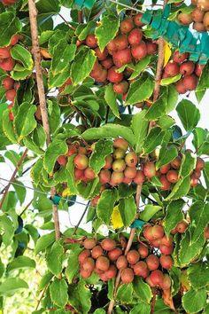 Grow Your Own Kiwi Berries Planting Fruit Trees, Fruit Garden, Vegetable Garden, Garden Plants, Kiwi Growing, Growing Plants From Seeds, Hardy Kiwi, Vine Fruit, Kiwi Berries