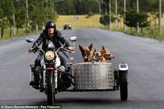 Open road: The biker says her three pet pooches love to feel the wind in their faces