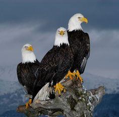 A trio of Bald Eagles