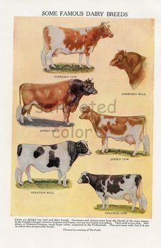 Dairy Cow Breeds Cattle Vintage 1940s