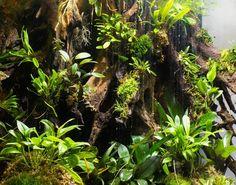 Wide angle under daytime lighting.  Starting to think about next builds....get ready @sherman_tanks !  #vivarium #terrarium #orchid #miniatureorchid #nature #dartfrog #poisonarrowfrog #botany #botanicaldesign #carnivorousplants #livingart #interiordesign #reeftank #plantedtank #aquascape #art #dendrobates #ranitomeya #fishtank #nycart #brooklynart #crestedgecko #gecko #indoorgardening #garden #reptile #frog #nyc #brooklyn by ryanbenzievivarium