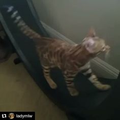 From @ladymlw with @repostapp ・・・ #exercise #time #onefastcat #wheel #bengals #bengalsofinstagram #4monthsold #cats #pets #lovehim 😻 he just learned after a few weeks #fitness #fit #fitnessmotivation #fitnessmodel #fitnesscoach #catmotivation @myjoebody  Check out the Cat Exercise Wheel at: http://onefastcat.com