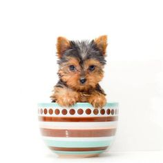 Tea cup Yorkie for sure :D